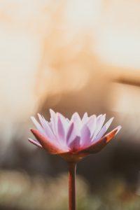 Workshop Angebote zu verschiedenen Jahreszeiten, Lotusblüte